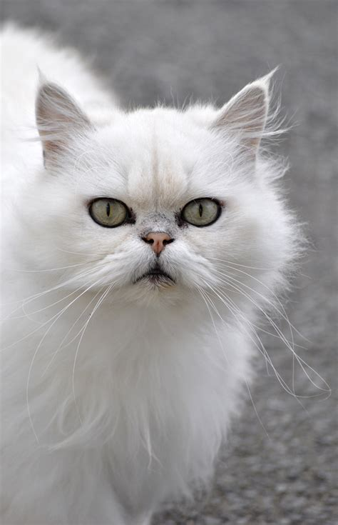 White Fluffy by White Fluffy Cat Quotes
