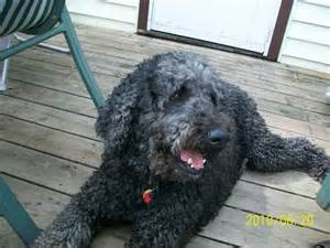 Do Standard Poodles Shed by Poodle Haircuts