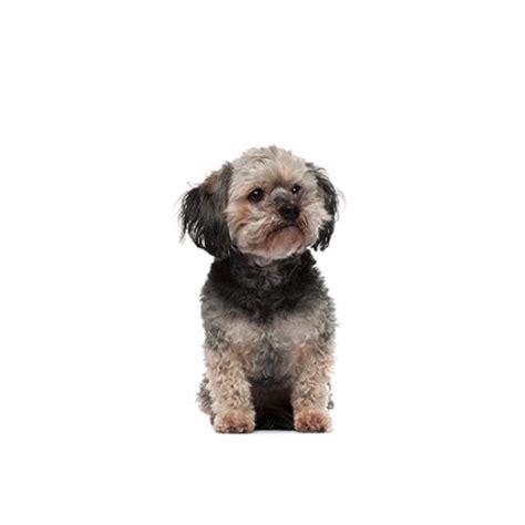teddy puppies michigan teddy puppies for sale michigan petland novi