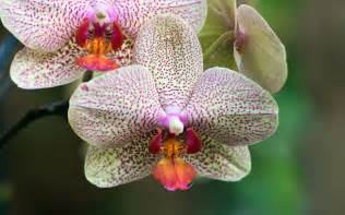 orchid flowers orchid flower white orchid flowers