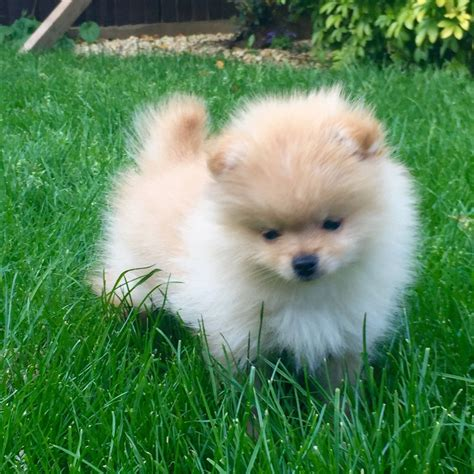 pomeranian puppies that look like teddy bears pomeranian teddy pomeranian puppies for sale teddy pomeranian puppies teddy
