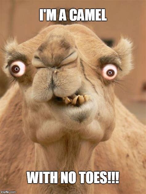 Camel Memes - camel imgflip