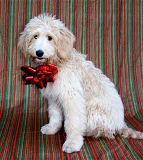 pyredoodle puppies pyredoodle great pyrenees poodle mix info puppies and pictures