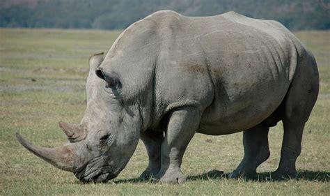 imagenes rinoceronte blanco alimentaci 243 n del rinoceronte blanco im 225 genes y fotos