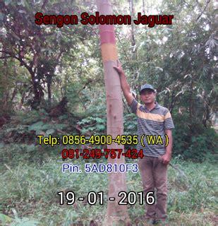 Bibit Sengon F1 jual benih sengon solomon jaguar f1