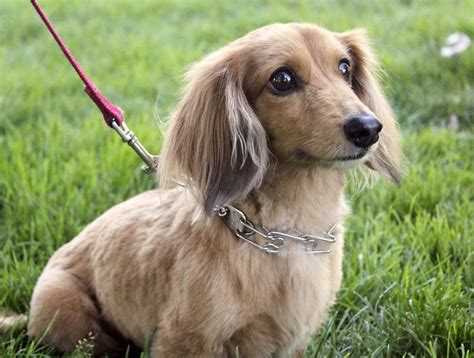 haired mini dachshund puppies 25 best ideas about miniature dachshunds on baby dachshund hair