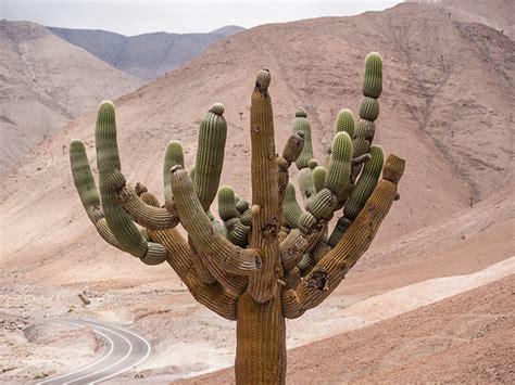 cactus candelabro flickr photo - Cactus Candelabro
