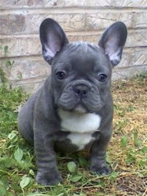 frenchie puppy best 20 blue bulldogs ideas on