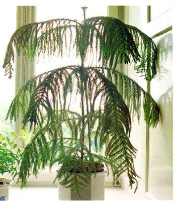 norfolk island pine araucaria heterophylla