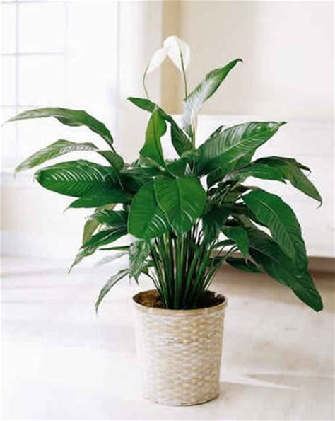 large houseplants clean house clean house plants leaves