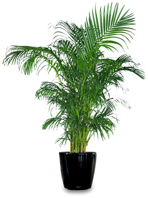 great indoor plants areca palm great indoor house plant that purifies the air