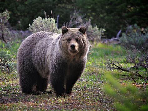 wallpaper alam dan hewan nature wallpaper hewan beruang darkgray burlywood