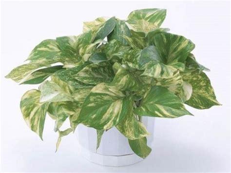 edera in vaso edera consigli pratici per una pianta rigogliosa