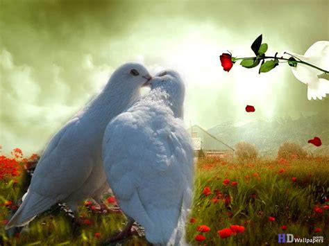 doves hd wallpaper 557370 jpg dove pictures of lovebirds birds wallpaper hd
