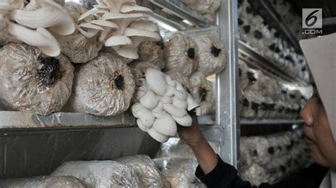 budidaya jamur tiram putih  pemula mudah