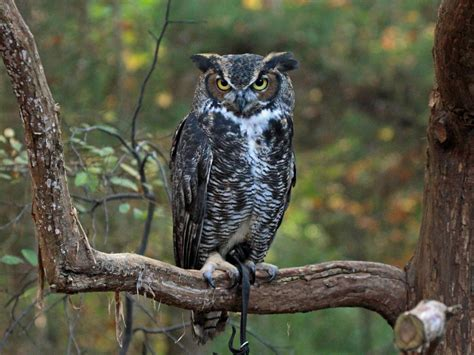 file great horned owl rwd at crc2 jpg wikimedia commons