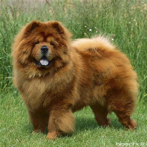schow and nerbonne chowchow d apparence autres marques animalerie truffaut