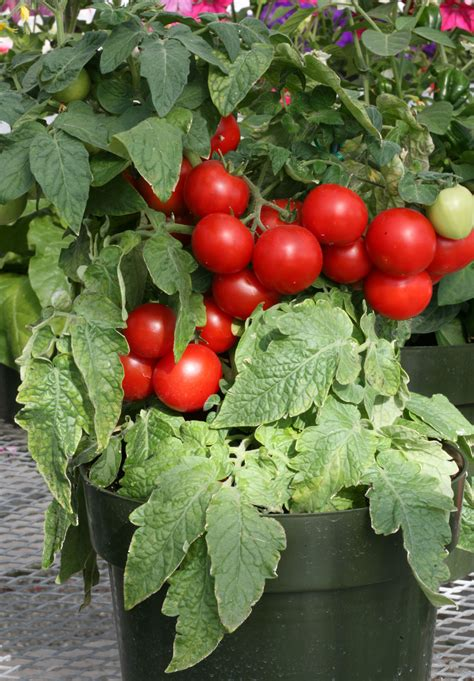totem f1 tomato seeds seeds