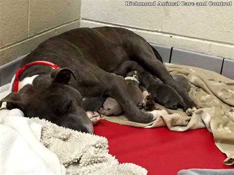 how is a for before giving birth pit bull locked in a dumpster is rescued just hours before giving birth