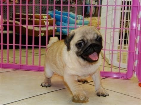 orlando puppies pug puppies dogs for sale in jacksonville florida fl 19breeders orlando cape