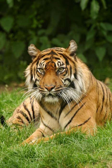 Restaurant Wall Murals vinyl wall mural bengal tiger panthera tigris tigris