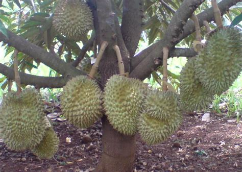 Bibit Durian Musang King Bersertifikat cv mitra bibit langkah langkah agar tanaman durian cepat
