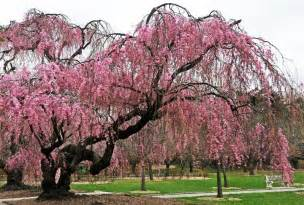 weeping cherry tree in bloom photo hubert steed photos
