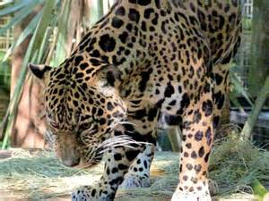 Florida Jaguar Jaguar Picture Of Brevard Zoo Melbourne Tripadvisor
