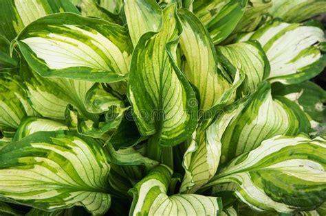 lush shiny indoor plant stock image image  houseplant
