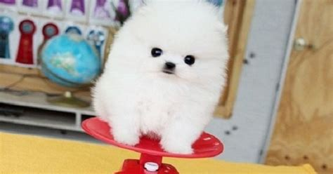 teacup pomeranian for sale in chicago teacup pomeranian puppies for sale 250 zoe fans baby animals