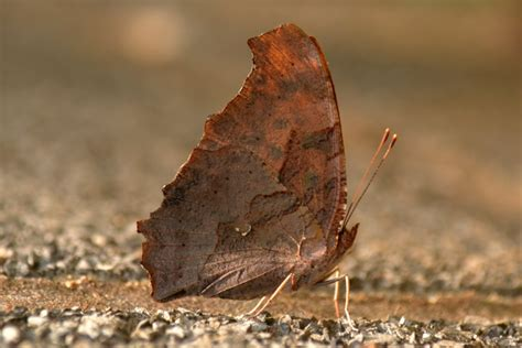 a that looks like a nature posts a butterfly that looks like a dead leaf