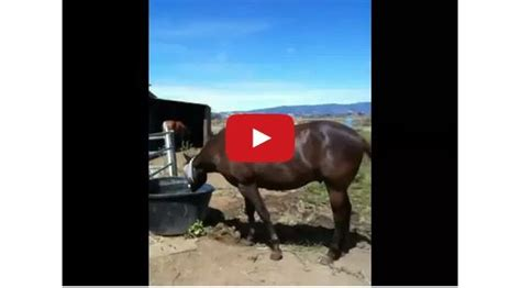 in heat behavior how to work with mares in heat what s better mare or gelding the horseaholic