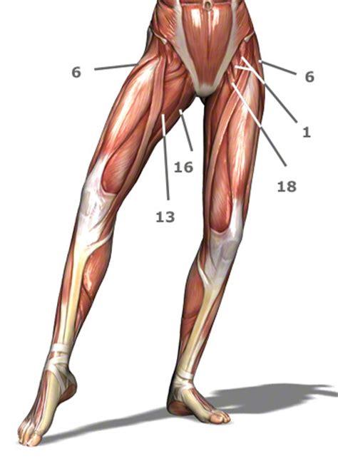 innere beinmuskulatur h 252 ftmuskulatur h 252 ftmuskeln muskeln der h 252 fte bilder