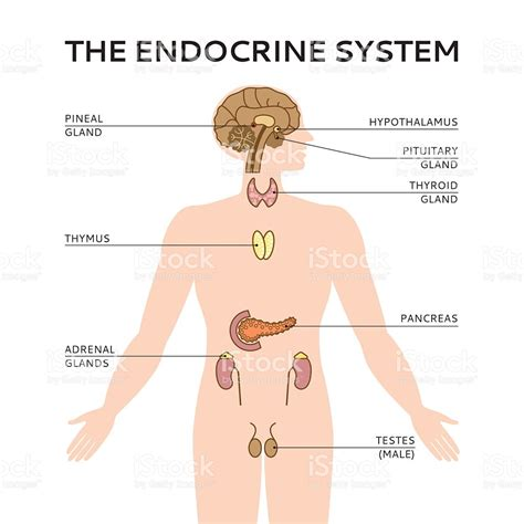 diagram of the endocrine system schematic colorful vector illustration of endocrine