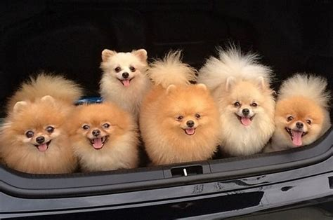 where can i buy a pomeranian for everyone who absolutely adores pomeranians