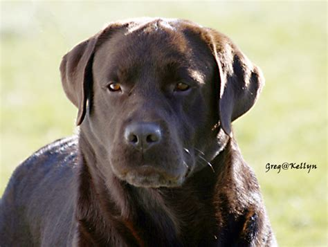 chocolate lab vs golden retriever chocolate lab vs american www pixshark images galleries with a bite