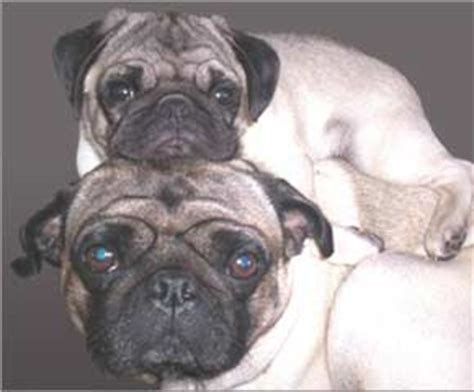 pug hair shedding do pug dogs shed hair breeds picture