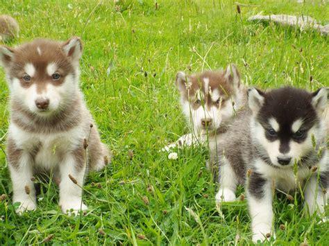 husky malamute puppies malamute cross husky puppies for sale tregaron ceredigion pets4homes