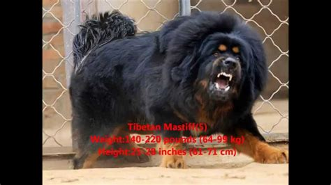 top ten dogs top 10 best guard dogs in the world breeds picture