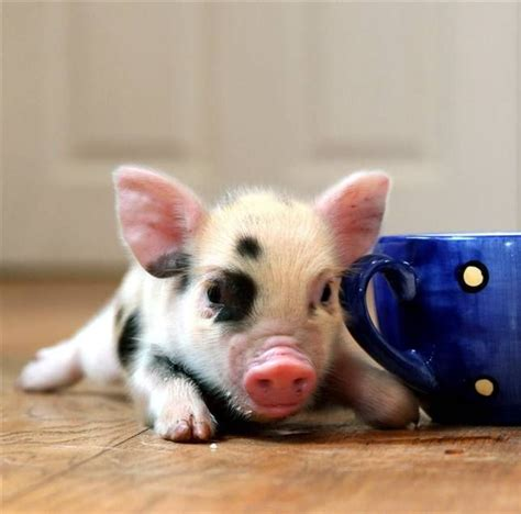 can yorkies eat pork 80 best images about baby pigs mini pigs and teacup pigs so on