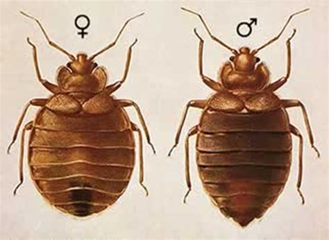 female bed bug what do bed bugs look like