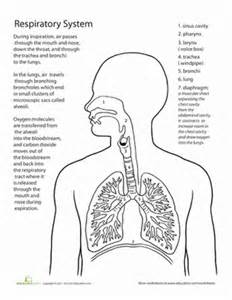 anatomy physiology coloring workbook answers respiratory system inside out anatomy the respiratory system worksheet