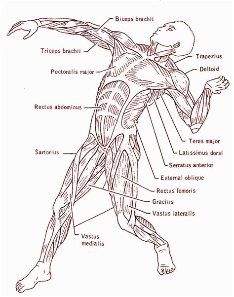Muscular System Coloring Pages The Muscular System Coloring Pages Coloring Home by Muscular System Coloring Pages