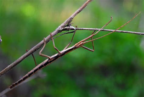 stick bug anisomorpha buprestoides bugguide net