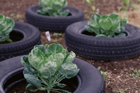 Garden Using Tires Are Tire Gardens Safe For Growing Vegetables