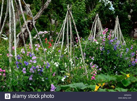 frame for climbing plants lathyrus sweet peas pea grow growing up wigwam plant