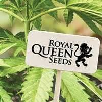 banche semi cannabis top 10 migliori banche di semi di cannabis zativo