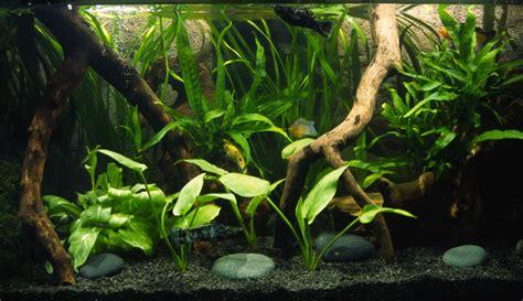 ghiaia acquario dolce quali piante inserire in un acquario d acqua dolce