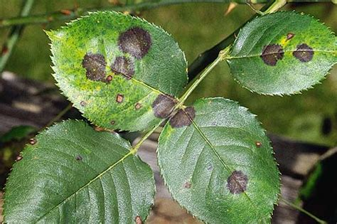 fungal diseases of plants plant fungi and diseases list of high impact articles