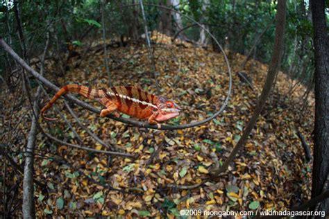 Debris The Veiled Worlds madagascar s chameleons came from mainland